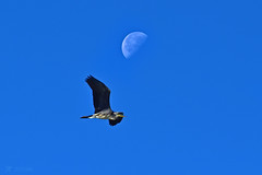 The Heron and the Moon 237/366 Challenge (After-the-Rain) Tags: heron moon 365challenge august2016