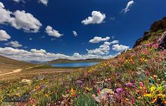 (SMBukhari) Tags: sheosarlake sheosar deosaiplains deosai flowers flora nature smbukhari syedmehdibukhari pakistan lake