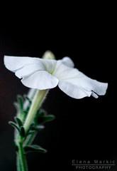 Flower 02 (markicphotography) Tags: flower blume canon eos 1100d landschaftsfotografie fotografie photography likeforlike likeback comment commentback