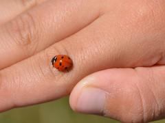 Coccinella (giorgiorodano46) Tags: coccinella ladybug agosto2016 august 2016 giorgiorodano mano hand marche montisibillini sibillini montisibillininationalpark parconazionaledeimontisibillini italy monterotondo fargno