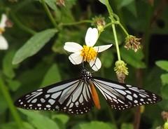 Parantica melaneus (Cramer 1775) Nymphalidae-Danainae-Chocolate Tiger- (SierraSunrise) Tags: thailand chiangrai wiangkaen insects animals butterflies butterfly lepidoptera black lightblue blue paleblue orange