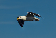 Möwe II (Seahorse-Cologne) Tags: breizh bretagne frankreich finistere möwe flug bird seagull ile molène port hafen parcdiroise