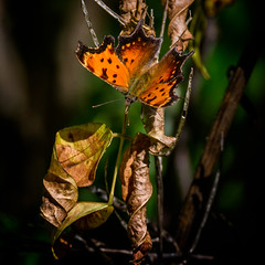 Late Summer Surprise (Portraying Life) Tags: michigan unitedstates butterfly handheld closecrop rare uncommon comma nativelighting
