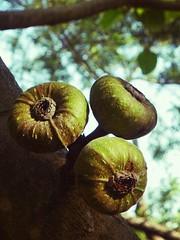 Figs (jgimbitzki) Tags: nature natureza photo foto figo figueira tree rvore fruta fruit figs figos
