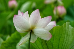 Lotus flower (JPShen) Tags: raindrops white pink lotus flower
