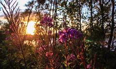 Sunset Flowers (Glenn Cartmill) Tags: uk pink trees ireland light sunset sky sun flower canon eos lough colours unitedkingdom glenn northernireland northern fea tyrone countytyrone cartmill 650d