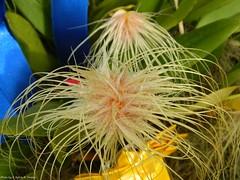 Bulbophyllum medusae (Sylvio-Orquídeas) Tags: flowers flores orchids orchidaceae species orquídeas bulbophyllum medusae espécies