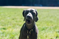 Rrrrrr (VanaTulsi) Tags: dog weimaraner weim blueweimaraner vanatulsi blueweim