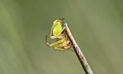 Cucumber Spider - Araniella Cucurbitina