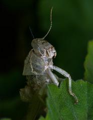 Leaving Home - Rotated (Rikardo daVinci) Tags: macro nature cicada nikon sigma grasshopper arthropod 105mm inspect sigma105mm d7100