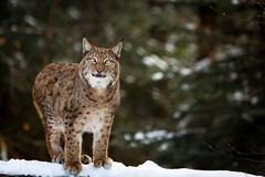 Lynx (Cloudtail the Snow Leopard) Tags: wildpark pforzheim tier animal mammal säugetier winter schnee snow katze cat luchs lynx cloudtailthesnowleopard