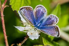 Common Blue Butterfly (Polyommatus icarus) (BiteYourBum.Com Photography) Tags: uk greatbritain blue england apple butterfly unitedkingdom noarhill gb common canonef1740mmf4lusm allrightsreserved polyommatusicarus ipad commonbluebutterfly focusstacking macpro canonefs60mmf28macrousm biteyourbum canoneos7d appleipad lrenfuse dawnandjim canonspeedlite430exii sigma50500mmf4563dgoshsm loweproprorunner350aw lightroom5 biteyourbumcom dawnjim camranger copyright2015biteyourbumcom copyrightbiteyourbumcom