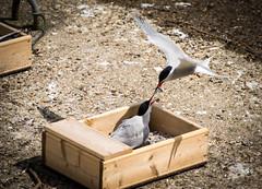 Common Terns at Preston Marina (William Matthews Photography) Tags: england marina docks nikon unitedkingdom preston tern seabird nikon70200vrf28 nikond610