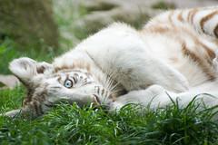 Tigre blanc (louise.michalet) Tags: zoo blanc tigre