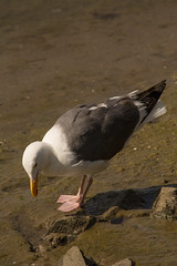 Western Gull (Larus occidentalis) (ekroc101) Tags: california birds sandiego westerngull shelterisland larusoccidentalis