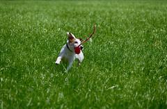 Anton (Oliver Kuehne) Tags: anton jackrussellterrier jrt dog hund chien pentaxk3 bayern bavaria germany july 2016