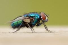 Blue Bottle (Rich Lukey) Tags: fly greenbottle bluebottle insect nikon 55200mm sigma achromatic green blue bottle macro closeup iridescent metallic jet fighter