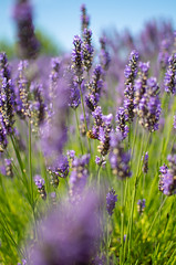 Bee in Lavender (H McCann) Tags: travel flowers plant flower love festival outdoors washington haze purple state lavender sequim bee organic pollen daze pollenation