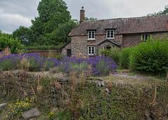 Cottage with lavender, Horner (cricketlover18) Tags: cottage horner exmoor