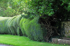 Behind the hedge (schwerdf) Tags: britishisles chippingcampden england greatbritain hedges strangetrees trees