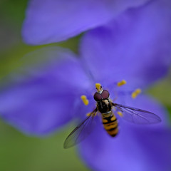 Tradescantia with hoverfly (Funchye) Tags: hoverfly 105mm nikond600 blomst flower tradescantia