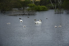 Rabbit Ings (246) (rs1979) Tags: rabbitings royston barnsley southyorkshire yorkshire pond muteswan muteswans swan swans cygnet cygnets