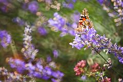 Motyl (kinga.lubawa) Tags: flowers flower colors canon butterfly sommer sensual kwiaty kwiat kolory motyl kolorowe soneczny sonecznie canon6d