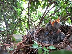 IMG_1189_Fotor01 (Ela's Zeichnungen und Fotografie) Tags: baby nest natur hannover tier vogel busch kcken