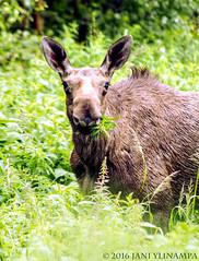 Wildlife (janiylinampa) Tags: rovaniemi lapland finland lappi suomi lappland finnland laponie laponia fi ounasvaara tottorakka moose elk eating