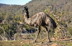 Emu at Cotter Dam (~Jek~) Tags: bird geotagged australia emu canberra aus australiancapitalterritory flightlessbird cotterdam geo:lat=3532491658 geo:lon=14893643618