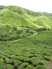 Cameron Highlands (v.freakydays) Tags: malaysia cameronhighlands teaplantation mossyforest