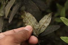 Rhododendron glaucophyllum Rehder (6) (siddarth.machado) Tags: rhododendron northsikkim himalayanflora 3000msl