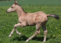 The Entertainer (winkler.roger) Tags: horse animal colt foal americanquarterhorse domesticanimal