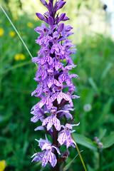 Orchidee (stefanielaiminger) Tags: orchidee blten naturschutz geschtzt selten makro flower