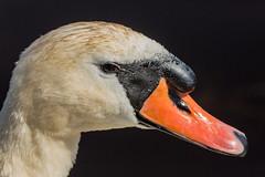 Swan (RGaenssler) Tags: tiere aves vgel muteswan cygnusolor schwne anatidae anseriformes hckerschwan cygnetubercul floraundfauna cignobianco entenvgel wirbeltiere cygnemuet gnsevgel