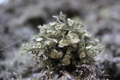 Lichen (straumek) Tags: tree nature lichen