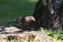 DSC_2107 (franckp64) Tags: bird turdusmerula blackbird merlo turdus volatile mangiatoia