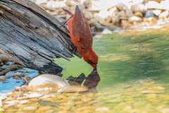Thirsty Cardinal (NBTXN) Tags: red bird water log rocks texas cardinal drink feathers drinking drinkingbird thirsty cibolo sip redbird northerncardinal cibolocreek crescentbendnaturepark