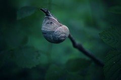 Look, Ma, No hands! / slug(gish) life (Bilderwense) Tags: natur nature colors colours colorful colourful green dof shallow depth depthoffield tiefenunschrfe tiefenschrfe outdoor nikkor 50mm f18 nikon d5000 bokehrama bokeh smooth soft bokehlicious makro macro macrodreams macromonday schrfentiefe pflanze verschwommen spring grn macromondays slug fauna wow schnecke weinbergschnecke snail gardensnail august rural hiking escargot