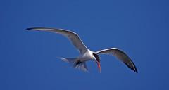 Hovering, i (F.emme) Tags: terns birds bolsachica bolsachicaecologicalreserve bolsachicawetlands wetlands shorebirds negativespace