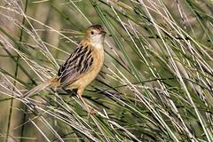 Golden-headed Cisticola 2016-07-09 (60D_2117) (ajhaysom) Tags: goldenheadedcisticola cisticolaexilis highlandslake craigieburn melbourne australia australianbirds canoneos60d sigma150600