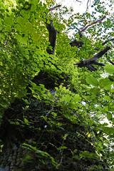 the old oak wears a new summer dress (lunaryuna) Tags: forest woods tree oaktree foliage green gorgeousgreenthursday lookingup nature summer season thewondersofseasons leaves pov lunaryuna