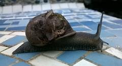 Snail 002 (Sensation Art Gallery) Tags: garden shell snail slippery slimy mollusc snaileyes