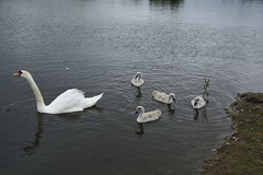 Rabbit Ings (234) (rs1979) Tags: rabbitings royston barnsley southyorkshire yorkshire pond muteswan muteswans swan swans cygnet cygnets