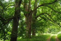 Im Naturschutzgebiet Zerninseesenke - Rosskastanien (Aesculus hippocastanum); Usedom b (235) (Chironius) Tags: rosids malvids sapindales seifenbaumartige sapindaceae seifenbaumgewchse hippocastanoideae rosskastaniengewchse acer ahorn baum bume tree trees arbre  rbol arbres  rboles albero  rvore aa boom trd