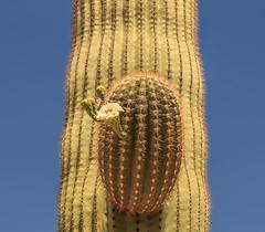 Organ Pipe Cactus National Monument - Saguaro (adzamba) Tags: 2016 arizona cactacee cactus lukeville organpipe organpipecactusnationalmonument puertoblancodr saguaro succulente unitedstates usa boccioli bocciolo bud carnegieagigantea fiore flower
