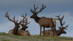 Boys Club (browtine1) Tags: park mountain colorado rocky bulls national elk tundra wapiti