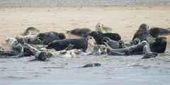 Seals, Newburgh Sands, Aberdeenshire, July 2016 (allanmaciver) Tags: newburgh sands aberdeenshire north east coast play rest wait watch admire enjoy delight nature reserve swim allanmaciver