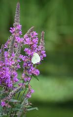 Brimstone Butterfly (ellie.taylor30) Tags: nikonnaturephotography nikon nature flickrnature sigma150600 sigma rooksbury hampshire summer butterfly