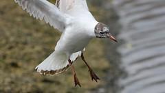 Black Headed Gull 240416 (9) (Richard Collier - Wildlife and Travel Photography) Tags: naturalhistory wildlife british birds blackheadedgull flight ngc